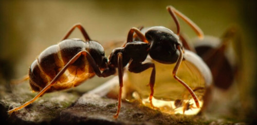 Муравьиный спирт и муравьи
