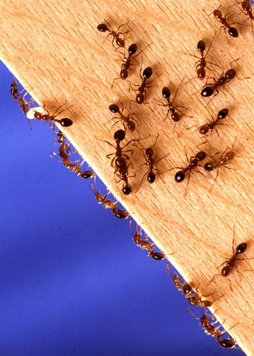 муравьев из домав