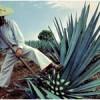 растение агава